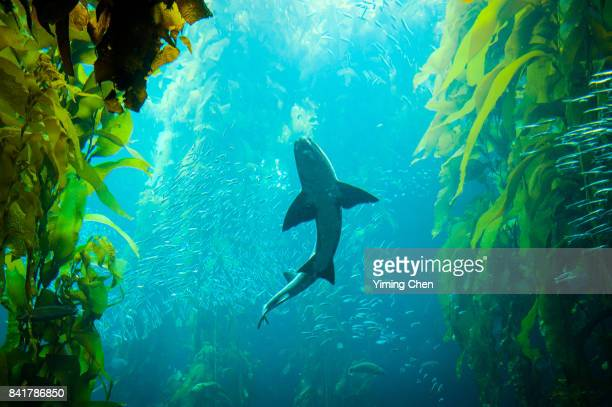 Shark Swimming in Kelp Forest