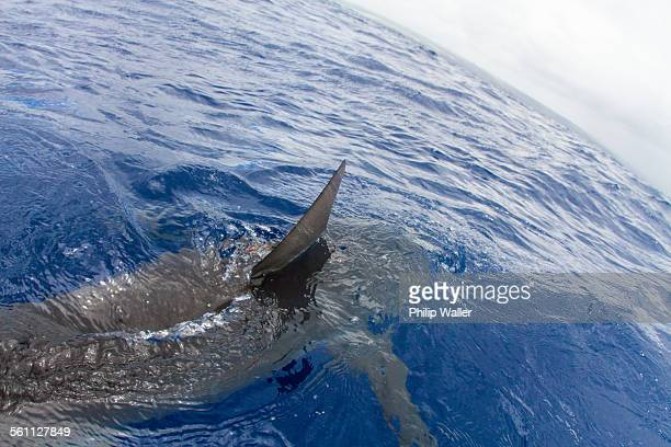 shark swimming in water, fin out of water, elevated view - shark fin stock photos and pictures
