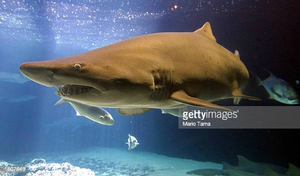 A shark swims in a tank at the New York Aquarium August 7 2001 in Coney Island New York City There were 79 shark attacks worldwide last year 51 of...