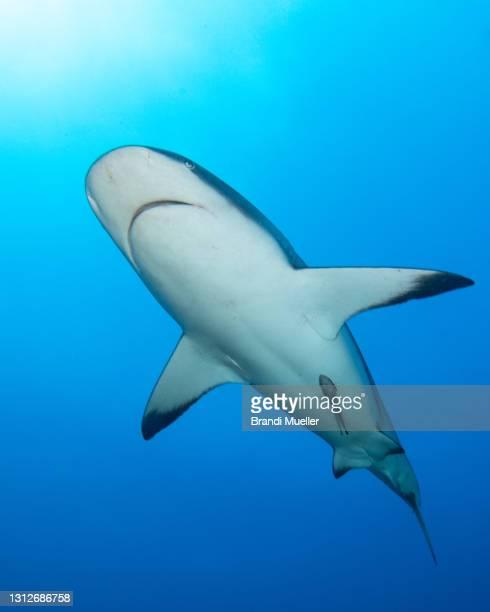 shark underwater in roatan, honduras - reef shark stock pictures, royalty-free photos & images