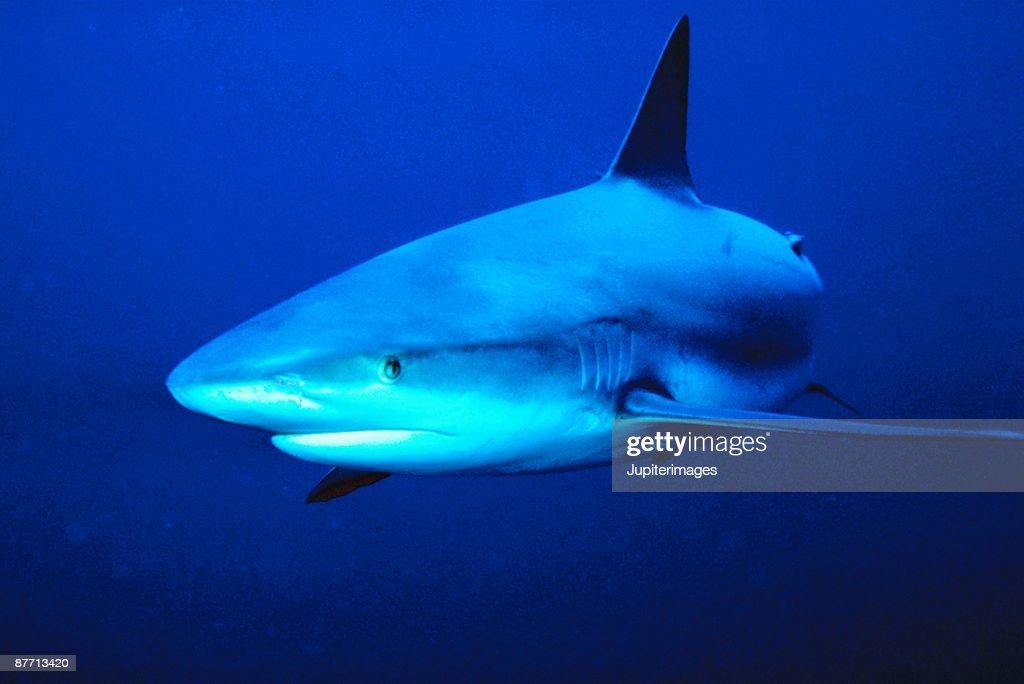 Shark underwater : Stock Photo