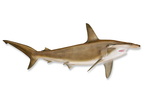 Shark With Clipping Path Wall Art