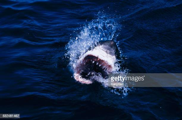 Shark with open mouth on the water surface