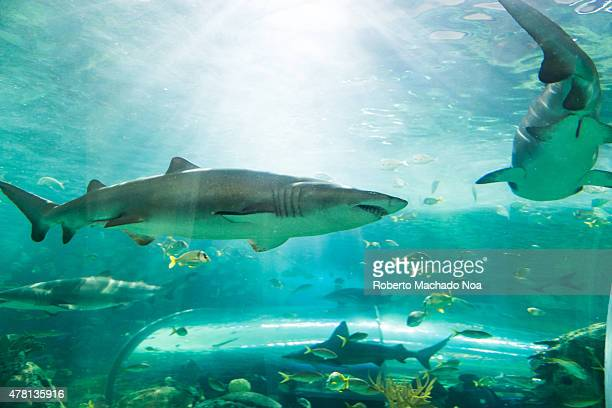 S AQUARIUM TORONTO ONTARIO CANADA Sharks in Ripley's Aquarium sharks are a group of fish characterized by a cartilaginous skeleton five to seven gill...