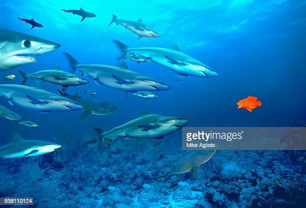 Sharks Surrounding Goldfish