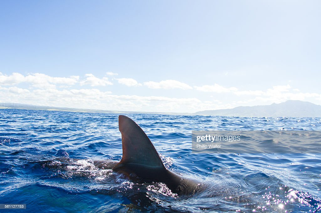 Sharks swimming, fin out of water, Hawaii : Stock Photo
