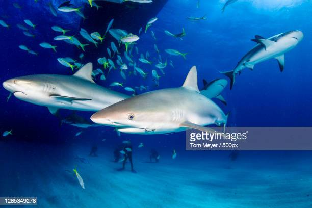 sharks swimming in sea with scuba divers - reef shark stock pictures, royalty-free photos & images