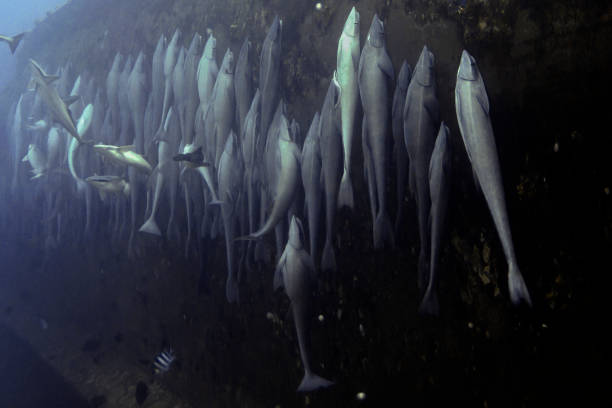 Sharksuckers attached to shpwreck