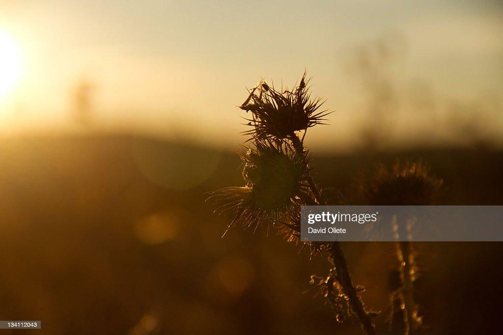 Sharp brown plant at sunshine : Stock Photo