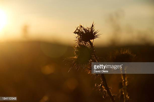 sharp brown plant at sunshine - david oliete stockfoto's en -beelden