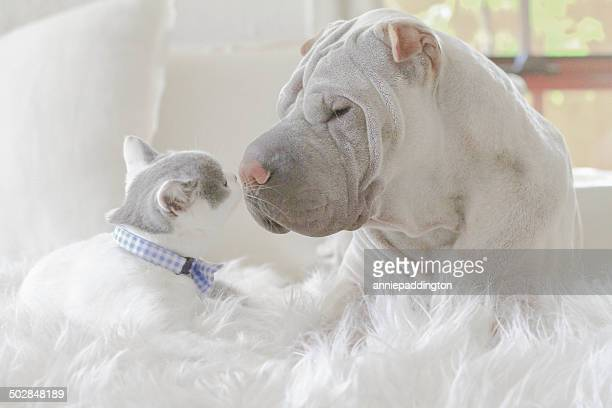 Shar-pei and kitten face to face
