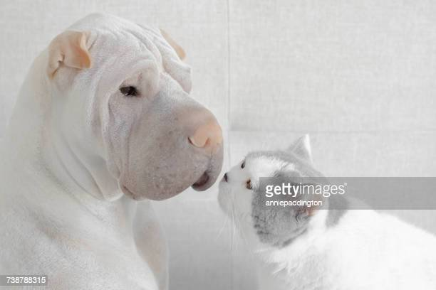shar-pei dog face to face with a British shorthair cat