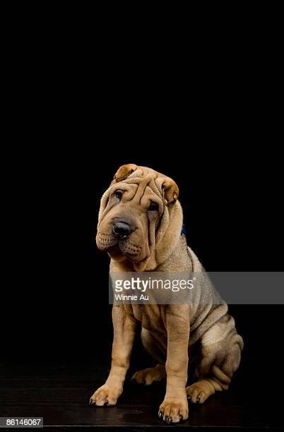 A Shar-Pei dog