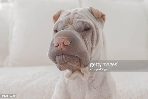 Sharpei dog portrait