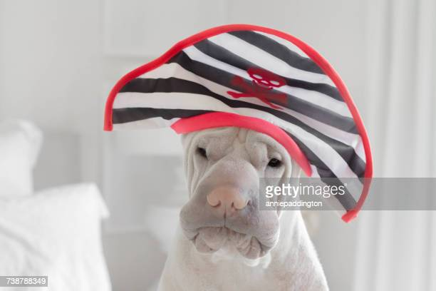 shar-pei dog wearing a Pirate hat