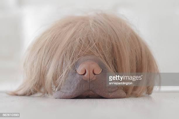 sharpei dog wearing a wig - perücke stock-fotos und bilder