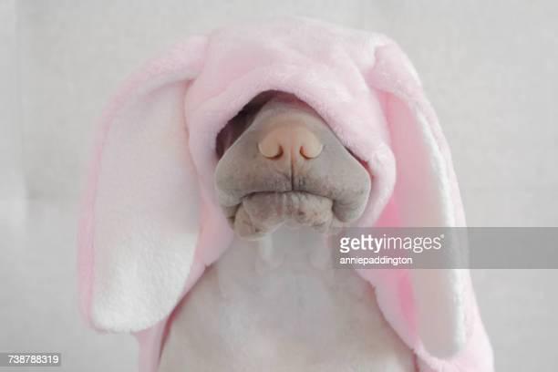 shar-pei dog wearing rabbit costume