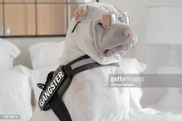 shar-pei dog with a gangster belt and sunglasses