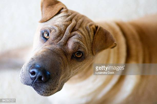 Sharpei looking up into camera