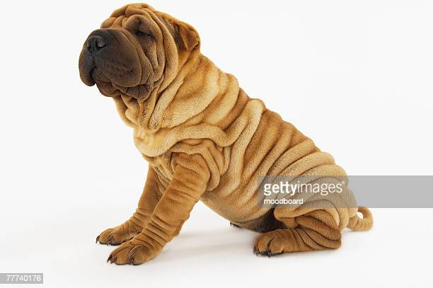 shar-pei - wrinkled stock pictures, royalty-free photos & images