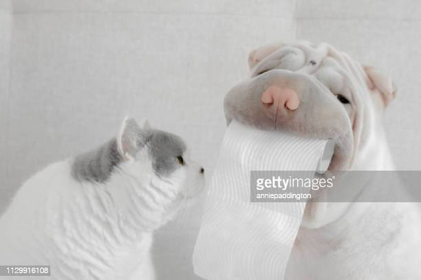 shar-pei puppy dog holding toilet roll next to british shorthair cat - funny toilet paper stock pictures, royalty-free photos & images