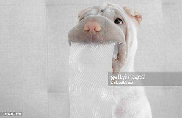 shar-pei puppy dog holding toilet roll - funny toilet paper stock pictures, royalty-free photos & images
