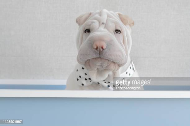 Shar-pei puppy dog sitting in a box wearing a bow tie