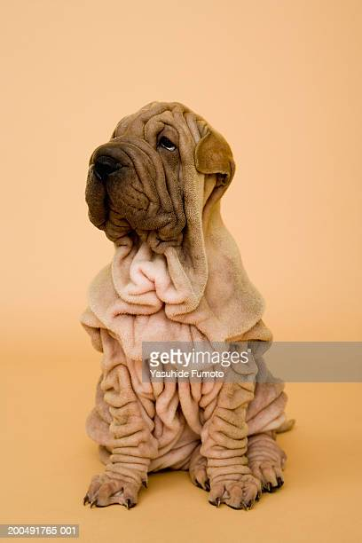 shar-pei puppy looking away - wrinkled stock pictures, royalty-free photos & images