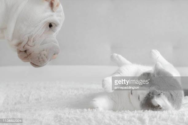shar-pei puppy playing with a british shorthair cat - purebred cat stock pictures, royalty-free photos & images