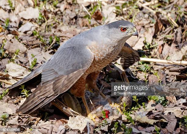 Sharp-Shinned Hawk Capturing a Northern Flicker Bird