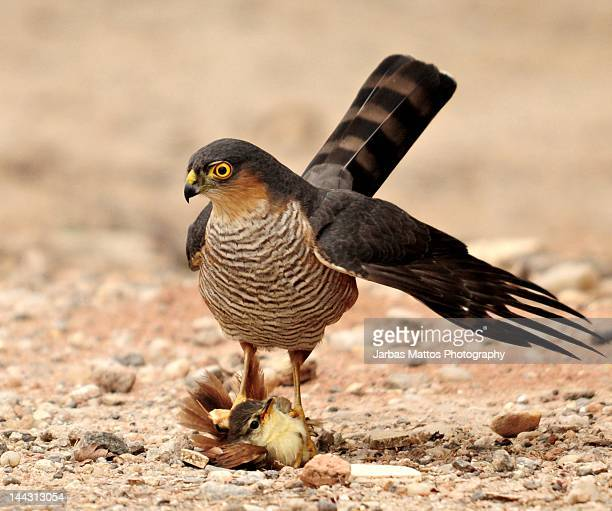 Sharp-shinned hawk