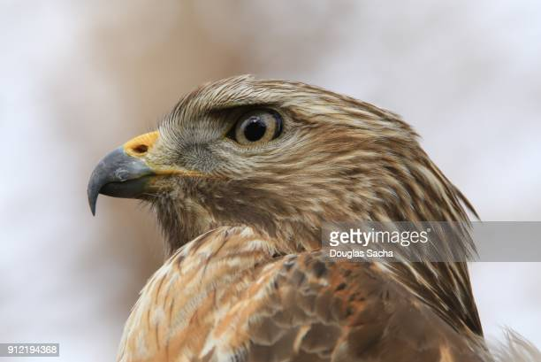sharp-shinned hawk (accipiter striatus) - hawk nest stock photos and pictures