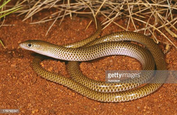 Sharpsnouted delma Delma nasuta a legless lizard Near Abydos Homestead Pilbara region Western Australia