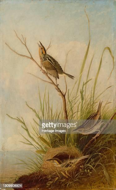 Sharp-Tailed Finch, 1831/1833. Artist Joseph Bartholomew Kidd. .