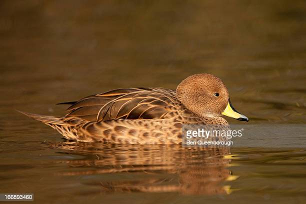 A Sharp-Winged Teal