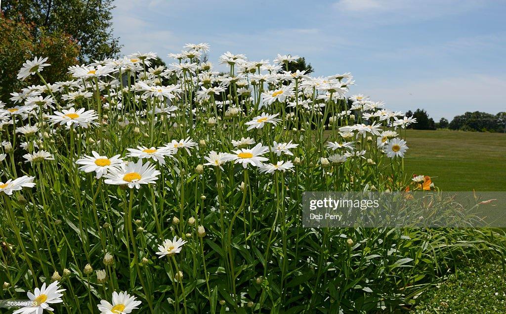 Shasta daisies : Stock Photo