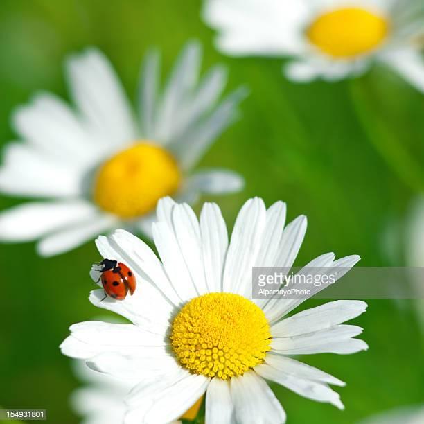 shasta daisy (leucanthemum x superbum) with ladybug - v - ladybird stock pictures, royalty-free photos & images