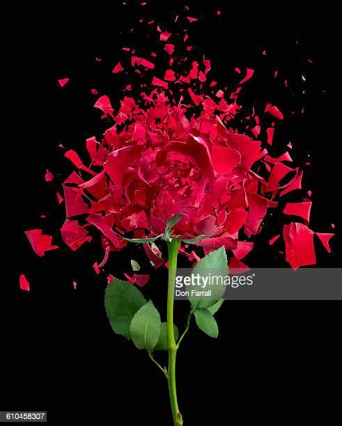 Shattered Red Rose