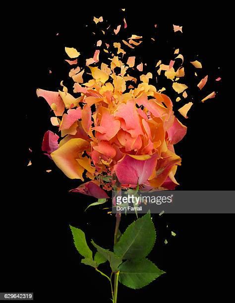 Shattered Rose Black Background