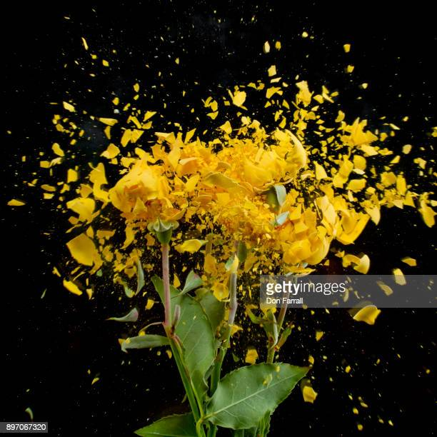shattered yello wroses - don farrall stock pictures, royalty-free photos & images
