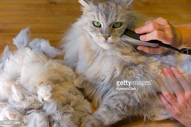 shaving a matted maine coon cat. - fat cat stock photos and pictures