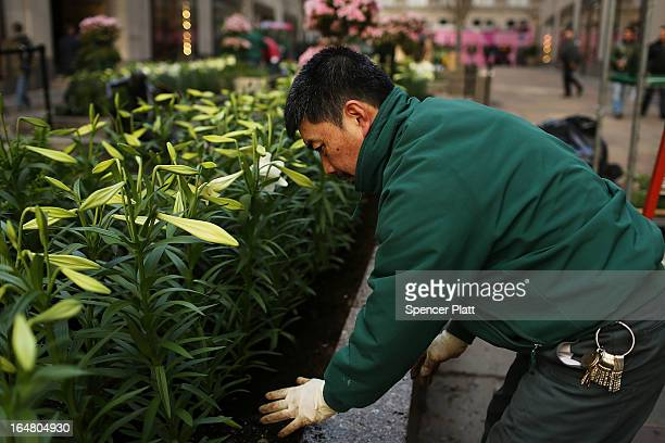 Shaw Chen with the Rockefeller Center Gardens Department plants white Easter lilies before the upcoming Easter holiday in Rockefeller Center on March...