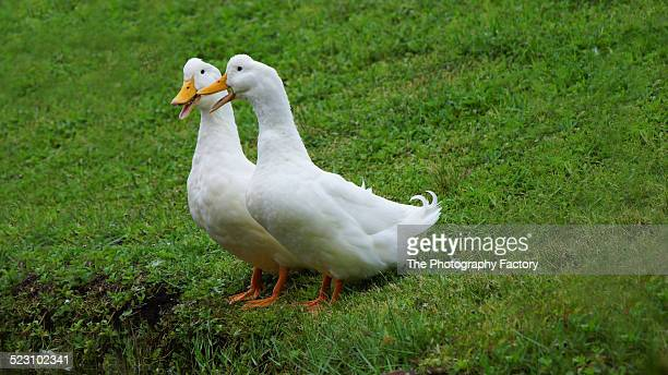 """she didn't!"" - pekin duck stock pictures, royalty-free photos & images"