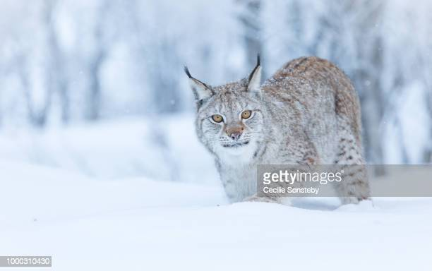 she saw me - lynx photos et images de collection