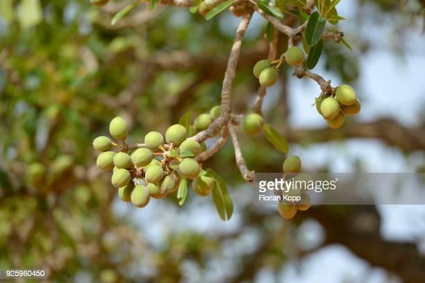 Shea tree (Vitellaria paradoxa) with fruits, Burkina Faso
