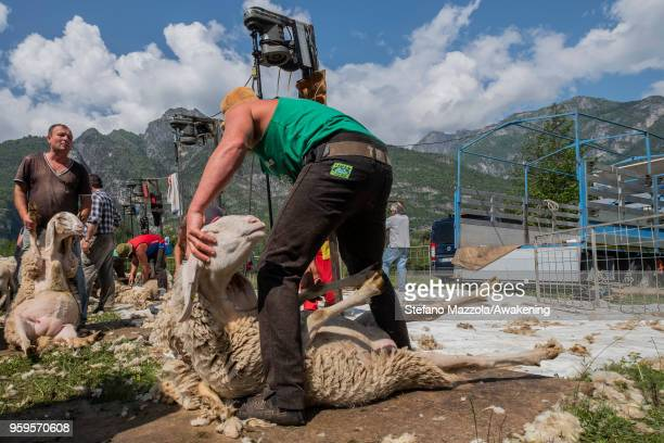 A freshly shorn sheep runs away on May 16 2018 in Longarone Italy According to tradition sheep shearing was carried out before summer arrives to...