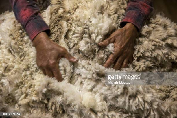 Shearing a merino sheep on July 7 2018 in Moree Australia Penny and Michael McIntosh run 'Dowra' a 6000acre farm about 40 kilometers north west of...