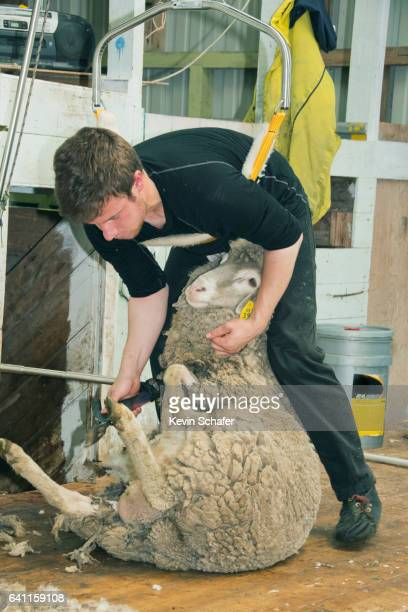 Shearing Sheep, Falkland Islands