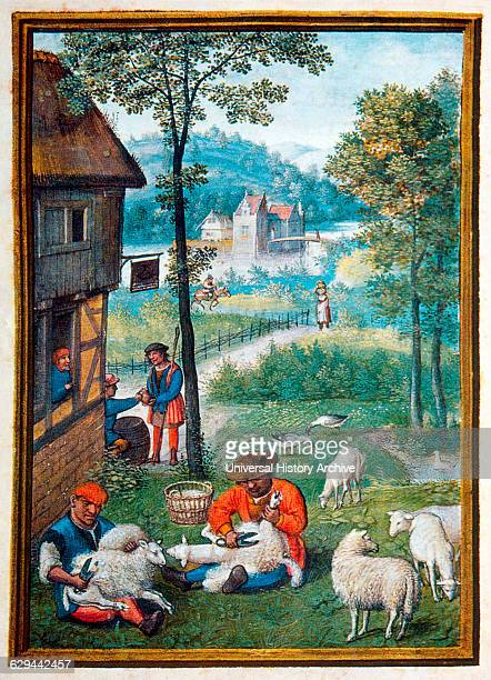Shearing Sheep June Illustration from Flemish Prayer Book Simon Bening 1500's