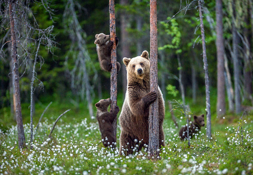 She-bear and cubs. 1064136288